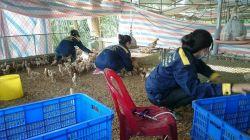 Dịch vụ chủng ngừa vaccine cho đàn heo/ gà của khách hàng